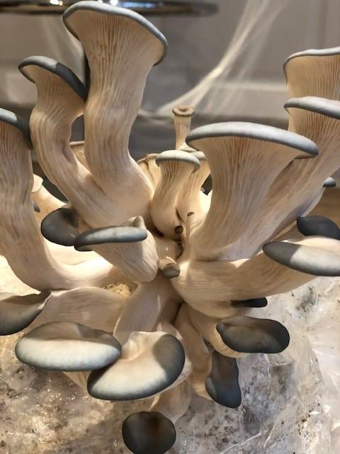 growing gourmet mushrooms image 8